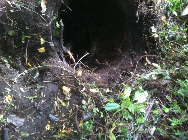 Storm drain full of roots